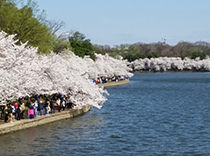 Our walk was on the cherry blossoms walkway